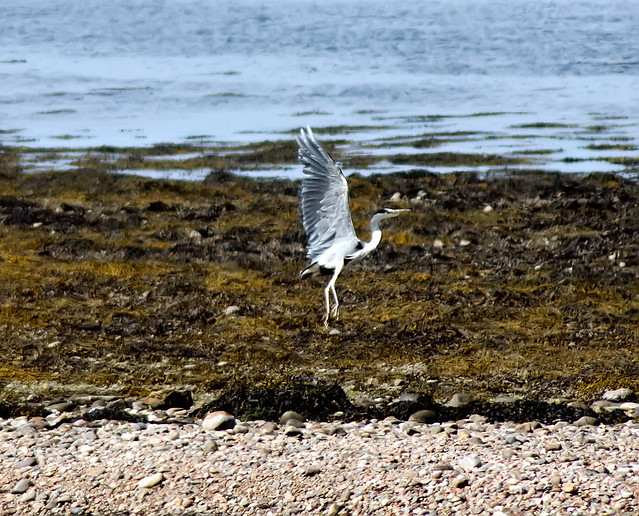 Heron-taking-off