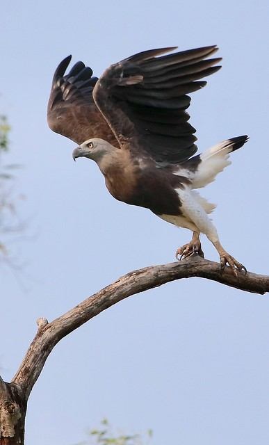 Grey Headed Fish Eagle, Canon EOS 5DS R, Canon EF 300mm f/2.8L IS II USM + 1.4x