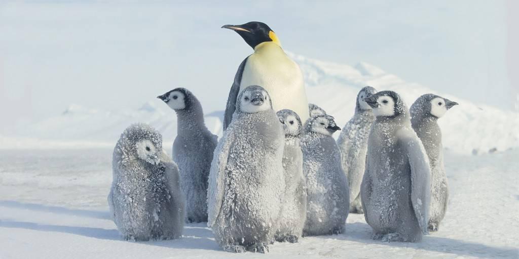 Des centaines de poussins manchots ont été momifiés en Antarctique