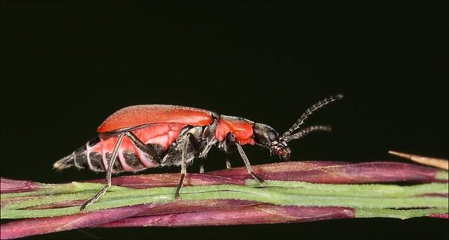 Cardinal Beetle, Canon EOS 7D MARK II, Canon EF100mm f/2.8L Macro IS USM