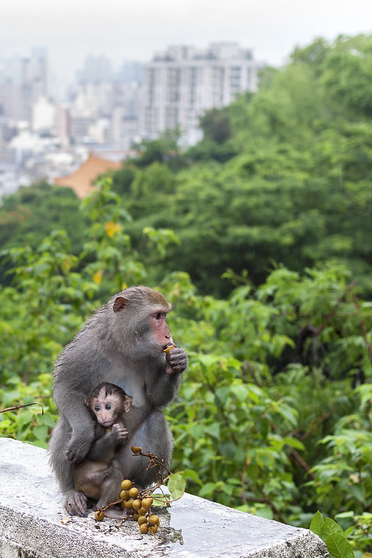 Monkey Mom and Baby Eating Lychee
