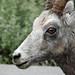 Bighorn Sheep by annkelliott