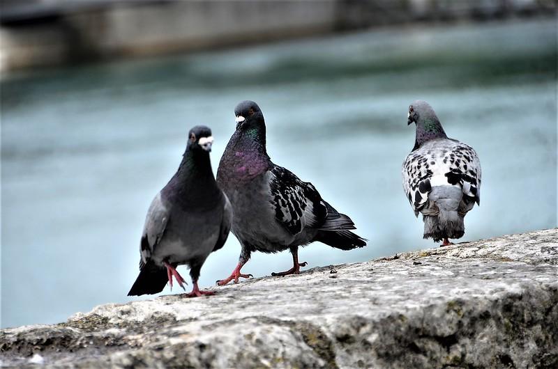 Pigeon 30.08 (6)