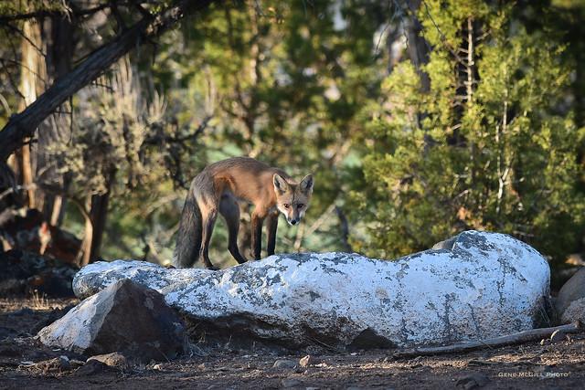 Fox on a rock #3