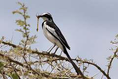 African pied wagtail feeding