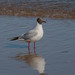 Blackheaded Gull (F183)