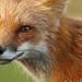 Renard roux \ Red Fox by Alain Daigle