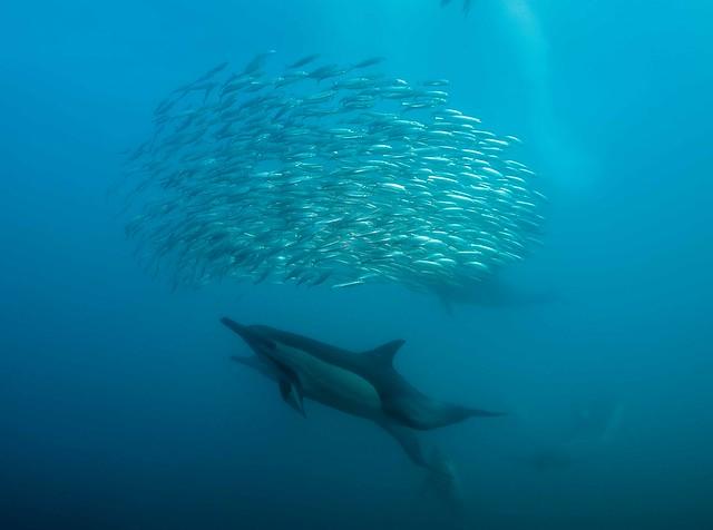 Sardine run Afrique du Sud - South Africa