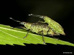 Weevils mating, Exorides sp., Curculionidae