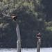 Marsh harrier and osprey #1