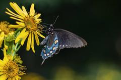 lack Swallowtail Butterfly #5