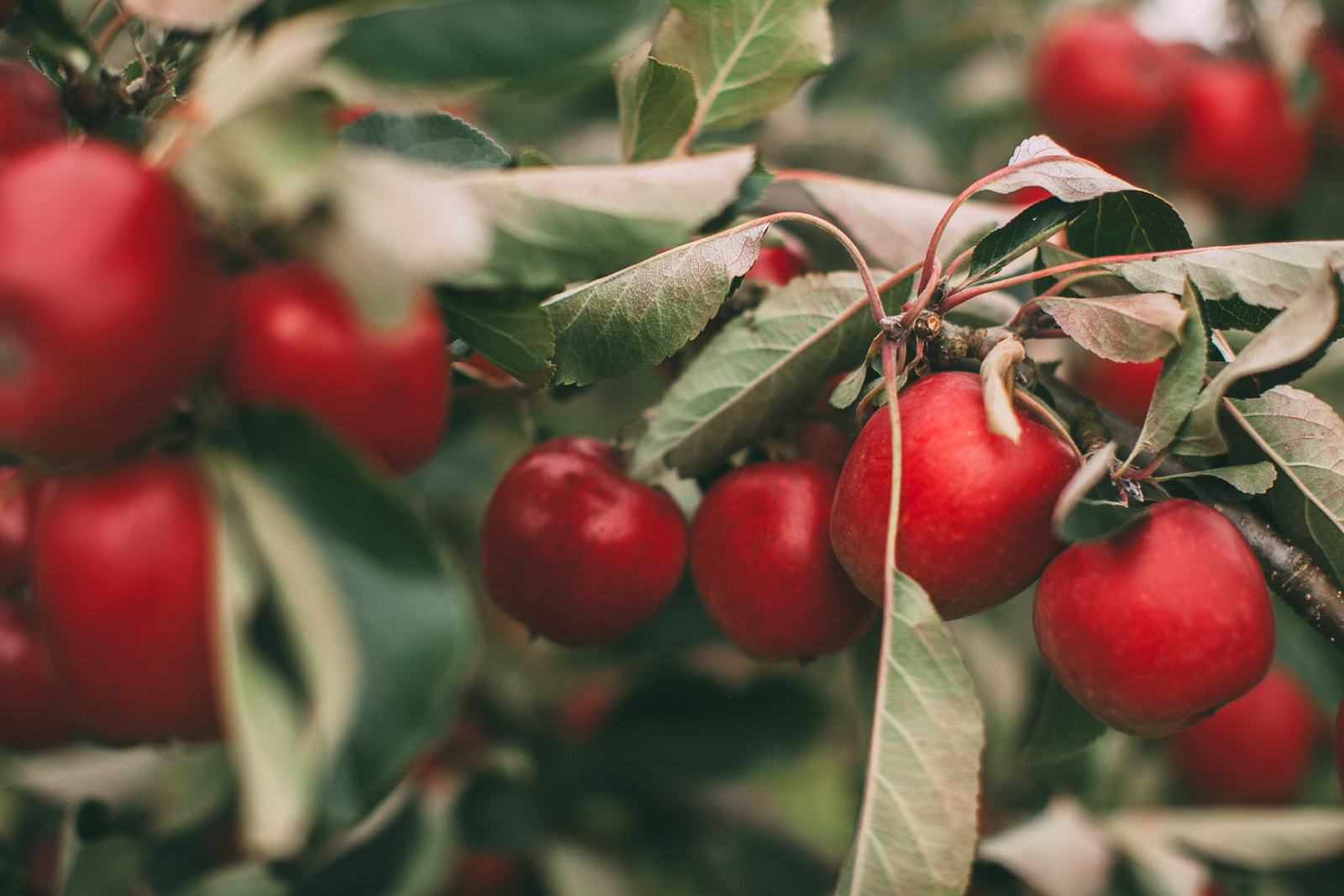 red apples-49