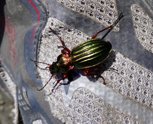 Jewel beetle on my shoe