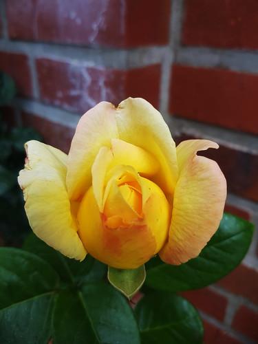 20180624 20 105 Baltica Grabau Blume Rose gelb