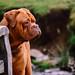 Bordeaux Mastiff