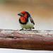 Black-collared Barbet by Photos By RM