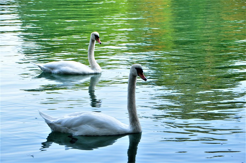 Swans 21.08 (1)