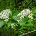 Wayfaring-tree - Viburnum lantana