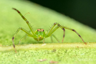 Crab spider (Diaea sp.) - DSC_2321