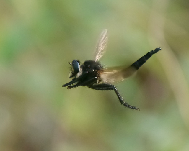 Hovering Robberfly