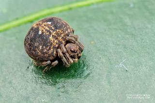 Orb weaver spider (Araneidae) - DSC_2022