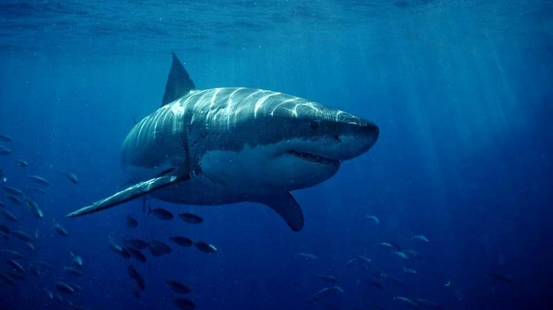 requin-données-de-suivi-émetteur