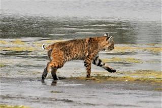 Lynx rufus californicus Bobcat #5