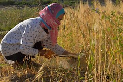 Cutting the stalks, a Wakhi lady harvesting barley  in Chapursan valley 06/08/2018 :copyright: Bernard Grua