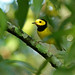 Hooded Warbler (Setophaga citrina) by Mary Keim