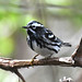 Black-and-white Warbler by Digital Plume Hunter