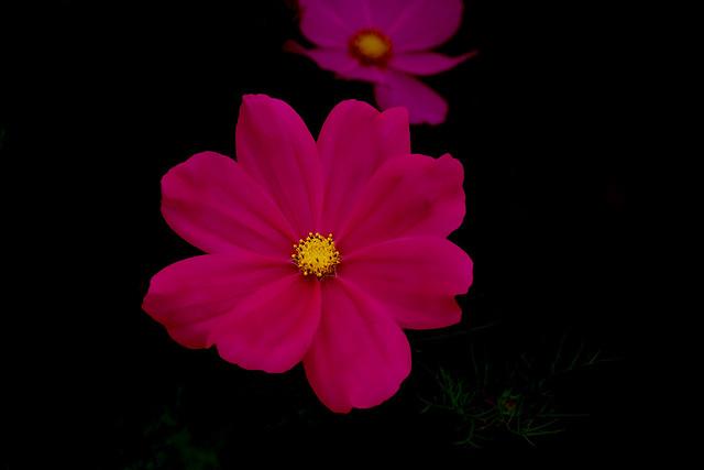 IMGP0152 Cosmos Daisy