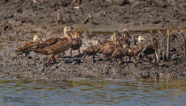 Motlted Duck and Chicks (Anas fulvigula)