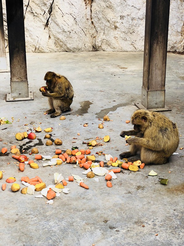 Macaque monkeys eating