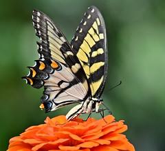 Textbook butterfly shot
