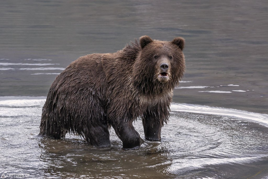 Young grizzly in the water - Alaska