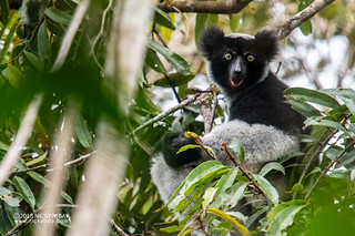 Indri lemur (Indri indri) - DSC_9137