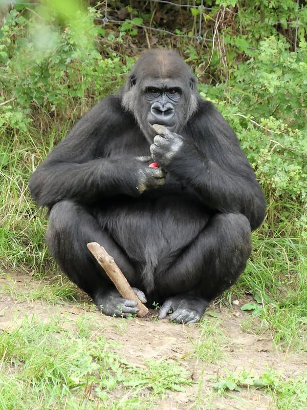 Gorilla Mawenzi, Zoo Givskud