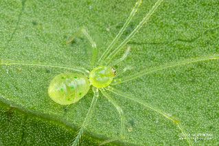 Jade comb-footed spider (Theridiidae) - DSC_2307b
