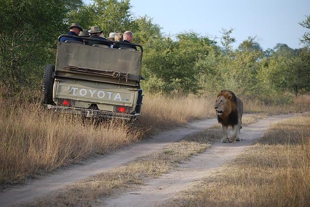 safari samochód i lew