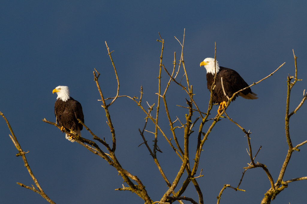 A bald eagle pair perches above Canvasback Lake at Ridgefield National Wildlife Refuge in Ridgefield, Washington