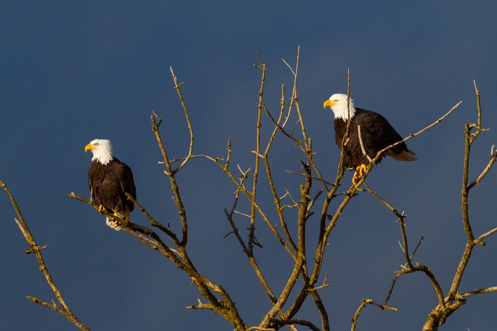 A bald eagle pair perches above Canvasback Lake at Ridgefield National Wildlife Refuge in Ridgefield, Washington