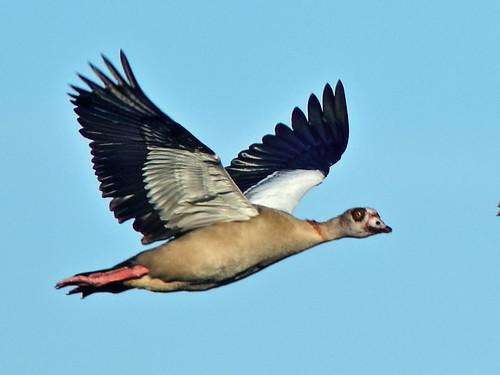 Egyptian Goose 04-20180823