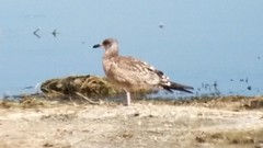 California Gull 1st cycle, with atypical banded-tail pattern.