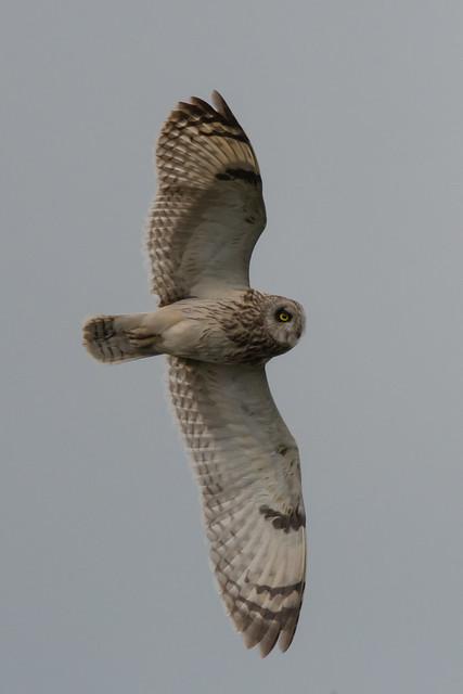 Gamekeeper guilty of killing two Short-eared Owls