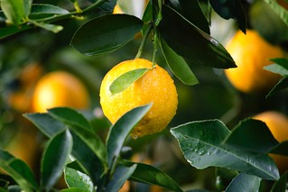 Agriculture citrus close up - Credit to https://homegets.com/ | by davidstewartgets