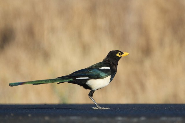 Yellow-billed Magpie, Canon EOS REBEL T6I, Canon EF 100-400mm f/4.5-5.6L IS