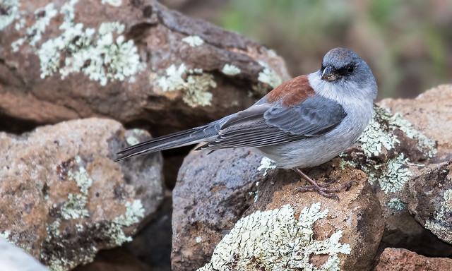 a-Dark-eyed-Junco-36-7D2-082116