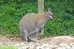 2018.06.19.052 CHAMPREPUS - Parc animalier - Wallaby - Photo of Villedieu-les-Poêles