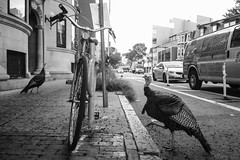 Street Turkeys