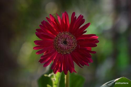 1-DSC_1612 marilena's red gerbera